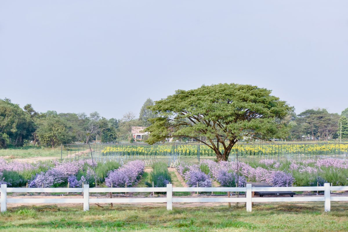 KKU Smart Flower Farm ชมแปลงดอกมากาเร็ตและทุ่งทานตะวัน